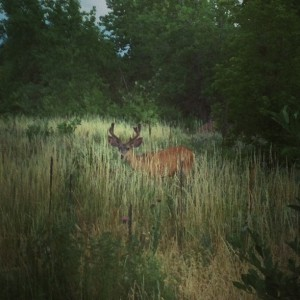 Buck near Boulder, Colorado - July 7, 2013