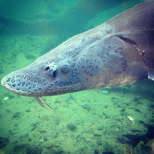 Sturgeon at Bonville Fish Hatchery, Oregon - June 15, 2013